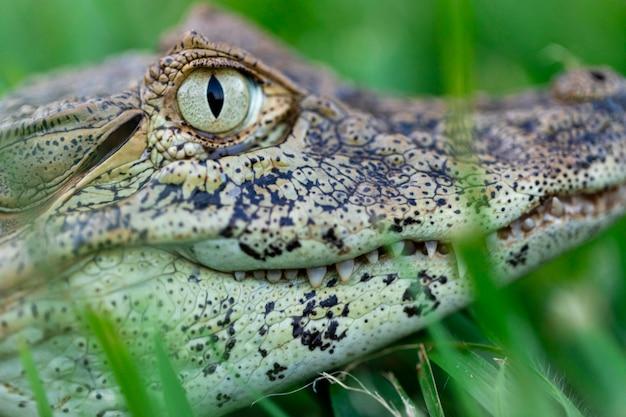 Primo piano sul coccodrillo giallo (caiman latirostris)