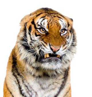 Primo piano sul ringhio di una tigre isolato.