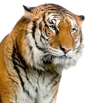 Primo piano sul volto di una tigre isolato.
