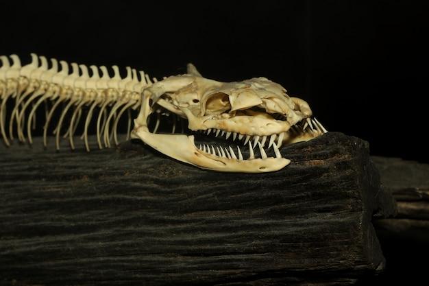 Primo piano testa di osso serpente