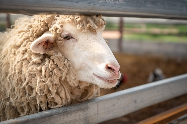 Primo piano testa di pecora