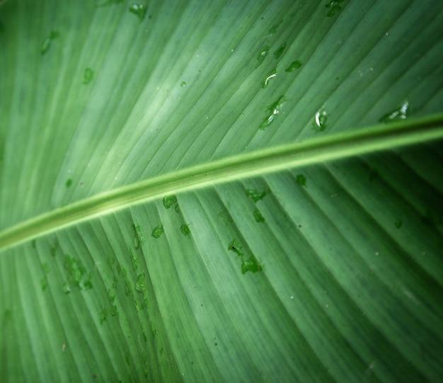 Primo piano tropicale bagnato della foglia
