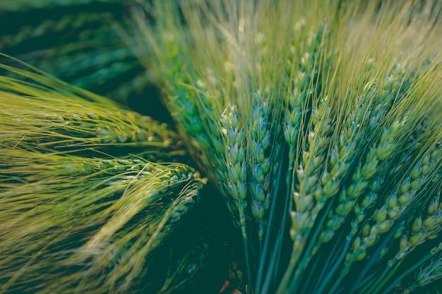 Primo piano verde del giacimento di grano