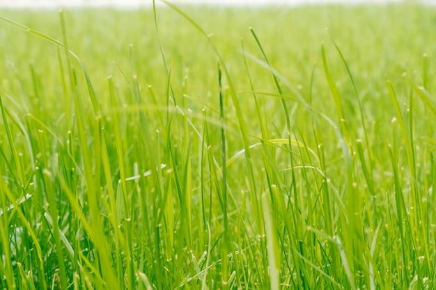 Primo piano verde intenso dell'erba nel campo. verdi per lo sfondo in una giornata di sole estivo