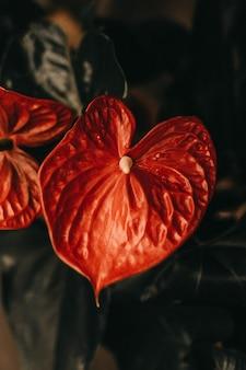 Primo piano verticale di un fiore rosso della calla con uno stame lungo