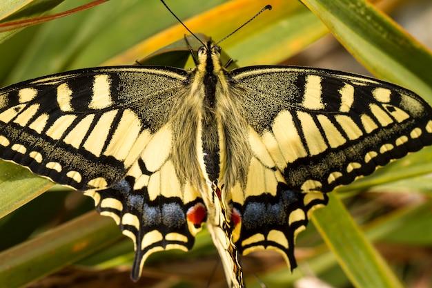 Primo piano vista del bellissimo insetto farfalla swallowtail (papilio machaon).