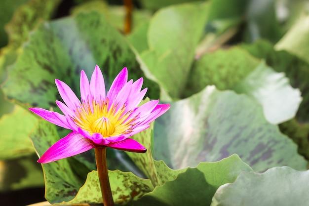 Primo piano vista semplice singolo colorato bella rosa viola loto