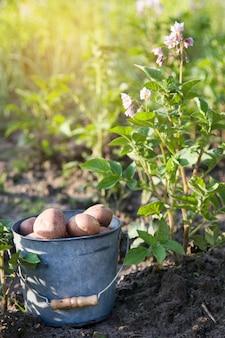 Primo raccolto di patate in giardino