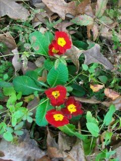 Primula fiore