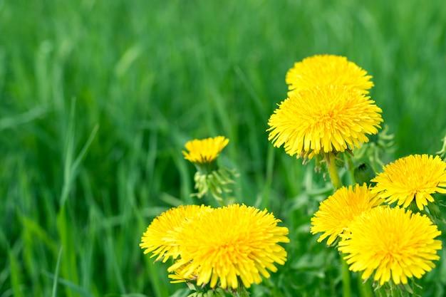 Priorità bassa astratta con erba verde e fiori gialli del dente di leone o farfara del tussilago