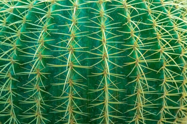 Priorità bassa astratta da close-up di cactus con pattern di spine. sullo sfondo della natura verde.