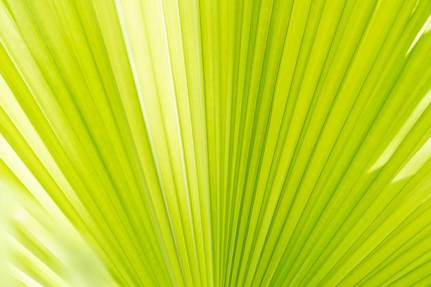 Priorità bassa astratta dal primo piano di struttura di foglia di palma con luce solare. sullo sfondo della natura