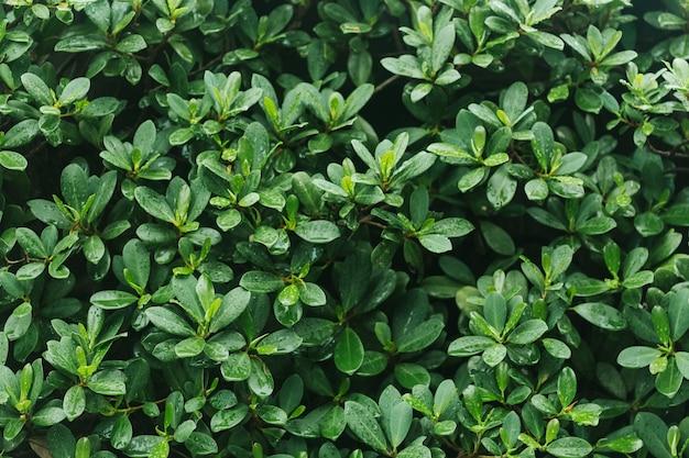Priorità bassa bagnata della natura delle foglie verdi.