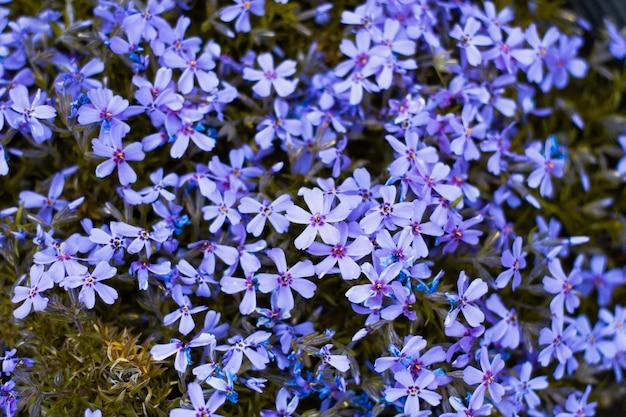 Priorità bassa del primo piano blu dei fiori. sfondo floreale naturale naturale.