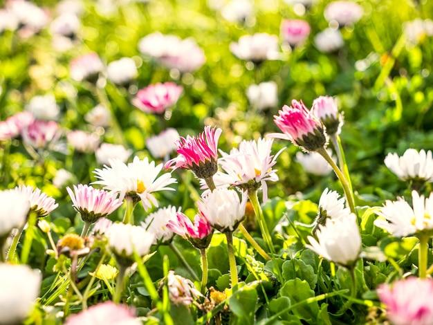 Priorità bassa della natura di primavera con prato di margherite colorate luminose