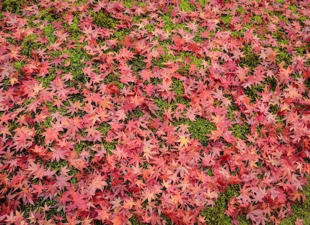 Priorità bassa di autunno con le foglie di acero giapponesi rosse su erba