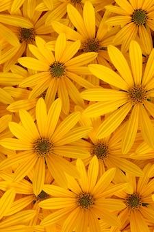 Priorità bassa di autunno dei fiori sboccianti gialli del topinambur