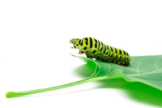 Priorità bassa di bianco del bruco di swallowtail