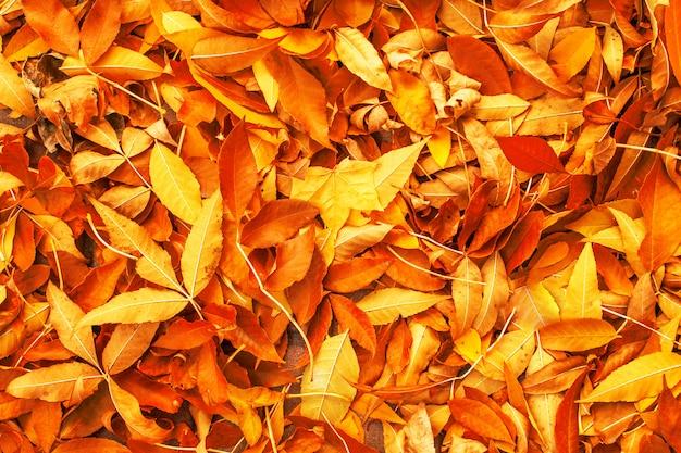 Priorità bassa gialla, rossa ed arancione dei fogli di autunno. struttura caduta foglie colorate d'autunno. all'aperto.