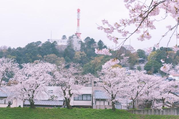 Priorità bassa incombente del fiore di ciliegia di sakura in primavera