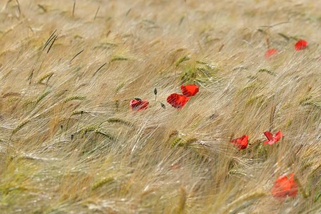 Priorità bassa strutturata di cereale dorato che cresce in un campo con la fioritura dei papaveri