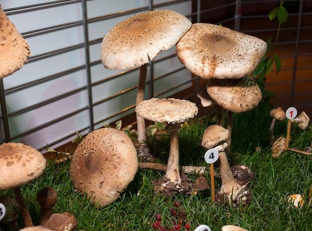 Procera di funghi