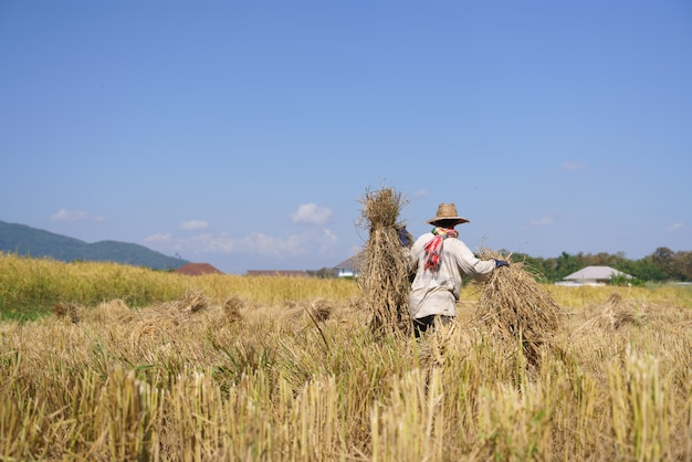 Processo di raccolta del riso tradizionale tailandese