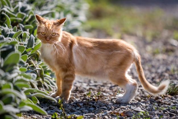 Profili il ritratto di grande gatto adulto cresciuto arancio dello zenzero con gli occhi gialli che stanno all'aperto