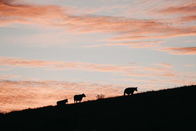 Profili un colpo di tre mucche su una collina sotto un cielo rosa