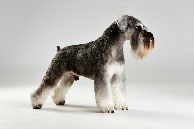 Profilo del cane schnauzer terrier