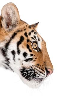 Profilo del primo piano della tigre di bengala, panthera tigris tigris isolato