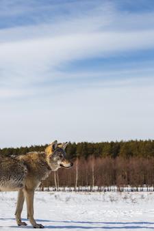 Profilo di un lupo grigio in un campo contro un cielo innevato