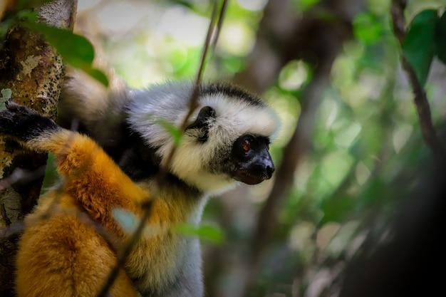 Profilo dorato delle lemure del madagascar