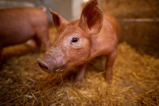 Profondità di campo ritratto di maiale a porcile. allevamento di maiali. gruppo di maiali alla fattoria degli animali.