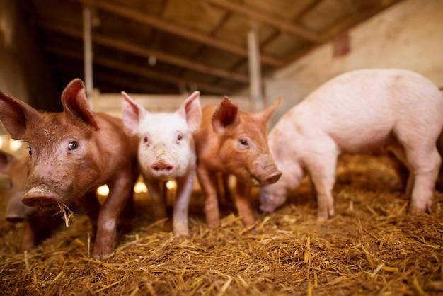 Profondità di campo ritratto di maiale a porcile