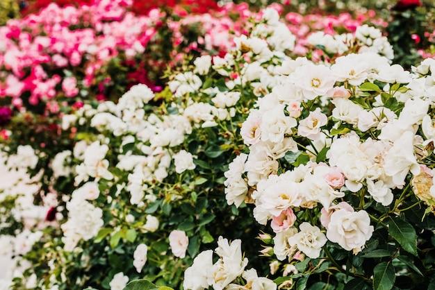Profumate rose bianche raggruppate che crescono in arbusti selvatici