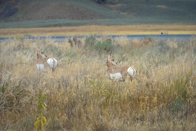 Pronghorn selvaggio nel parco nazionale di yellowstone