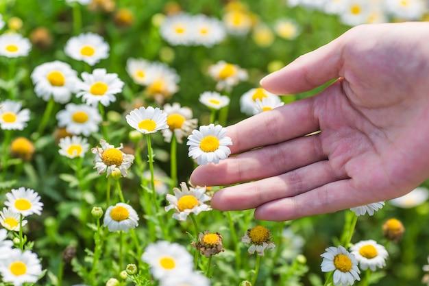 Pronti a scegliere il crisantemo, la forza lavoro