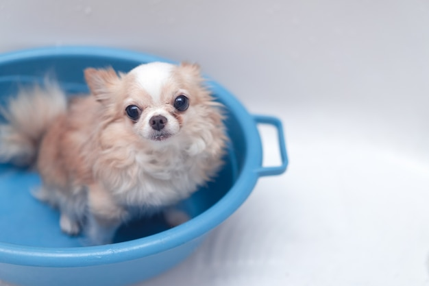 Proprietario aspettante del piccolo cane marrone sveglio della chihuahua nella vasca dopo avere preso un bagno in vasca