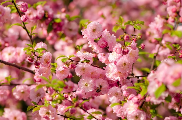 Prunus triloba sboccia.
