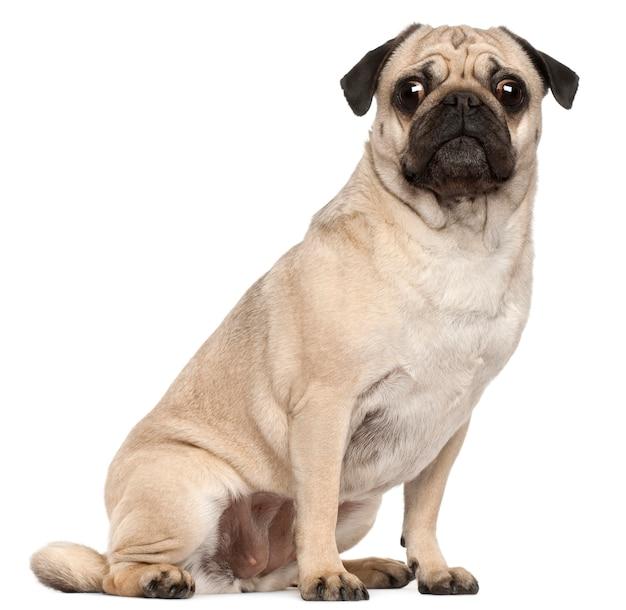 Pug, 3 anni, seduto