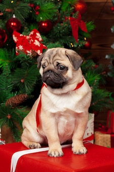 Pug con regali di natale