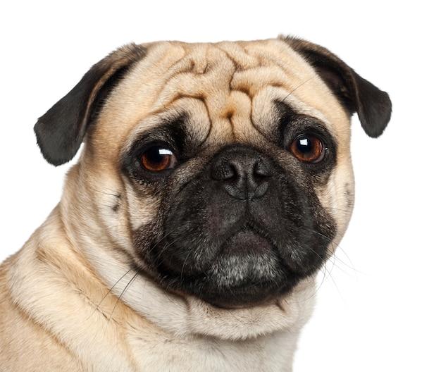 Pug, seduto su sfondo bianco