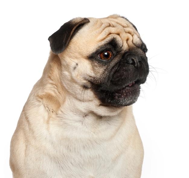 Pug, su sfondo bianco
