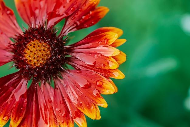 Pulchella di fioritura scenico di gaillardia nella macro