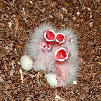 Pulcini comuni dell'upupa nel nido che chiedono alimento