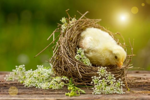 Pulcino giallo in un nido su uno sfondo naturale.
