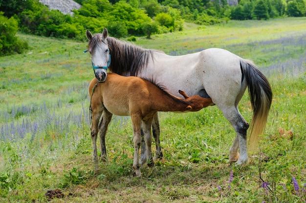 Puledro e sua madre cavallo, allattamento al seno
