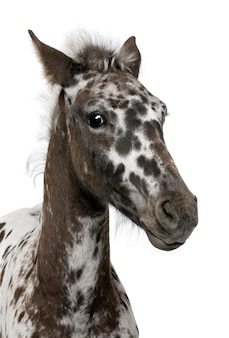 Puledro incrocio tra un appaloosa e un cavallo frisone in piedi
