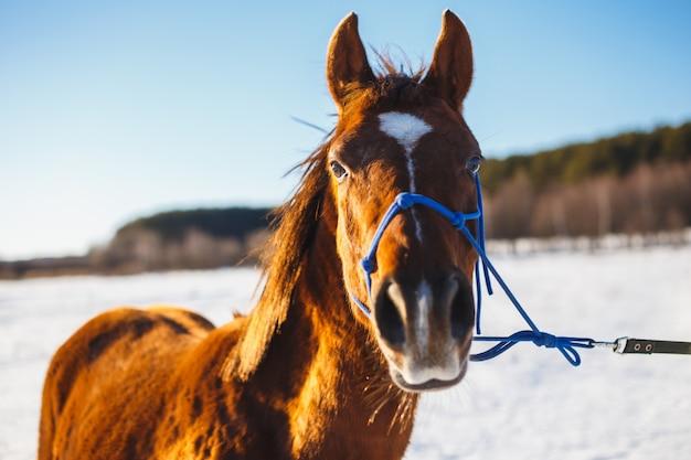 Puledro rosso con una stella bianca sul muso in un campo invernale al sole.
